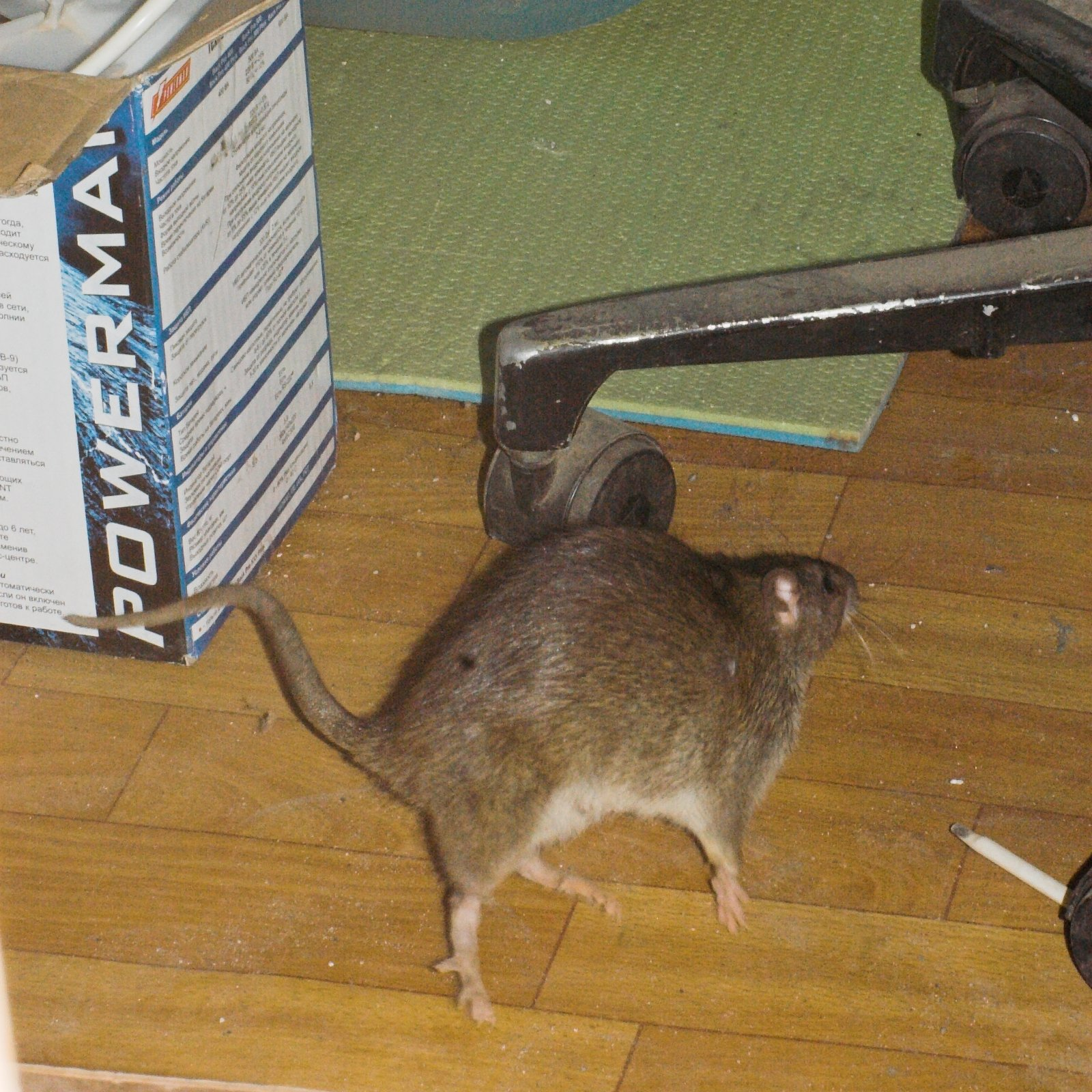 крысы подвале фото в